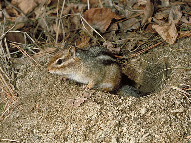 Tonight, while longing for the hole…I will be with other chipmunks…hoping no coyotes or hawks will be in attendance.
