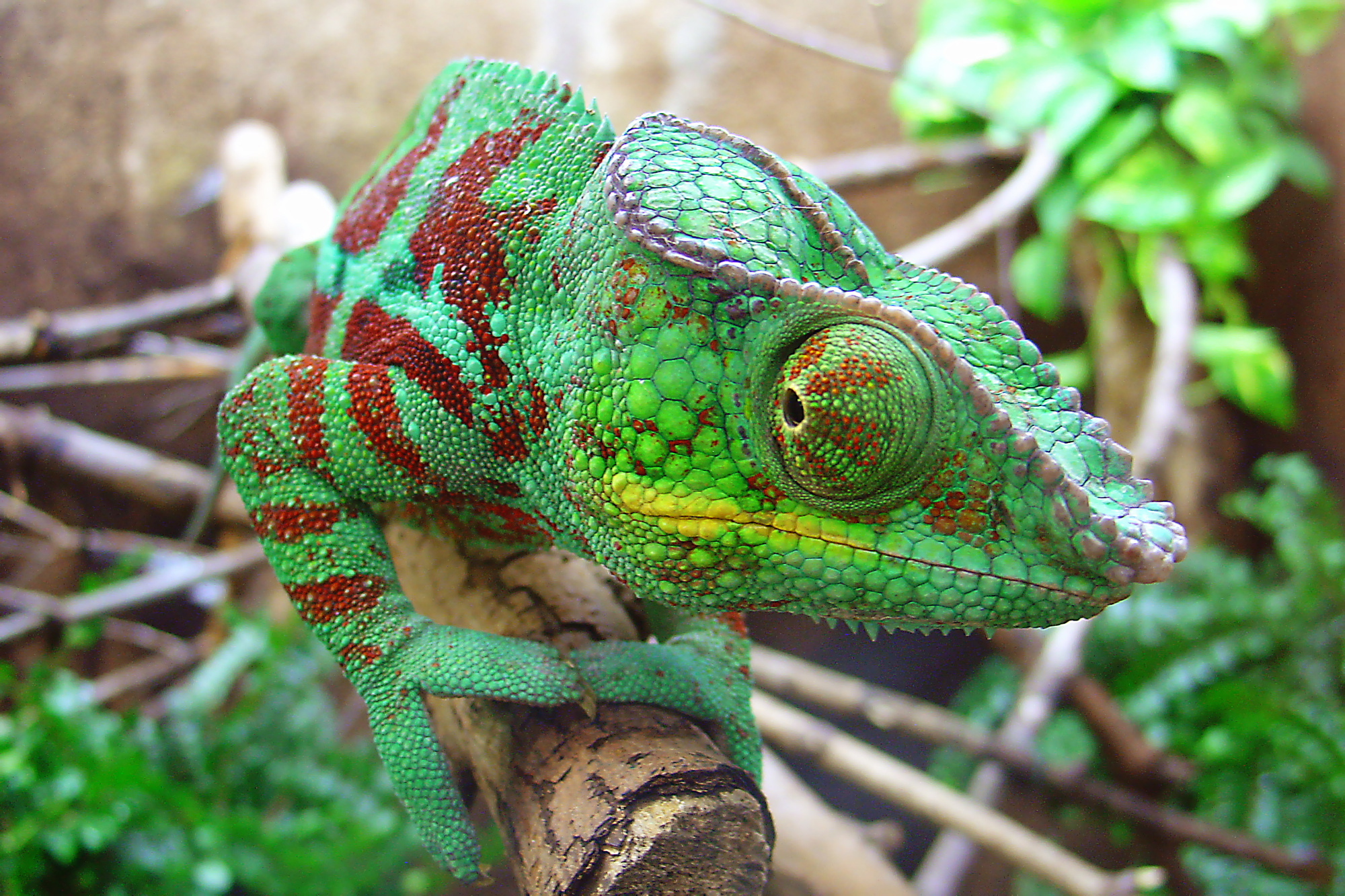 Pet Chameleon | www.pixshark.com - Images Galleries With A ...